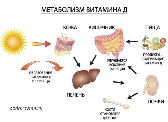 метаболизм витамина D
