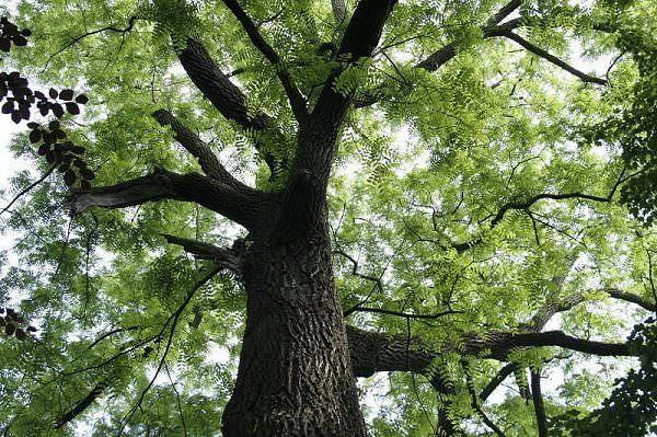 дерево черного ореха