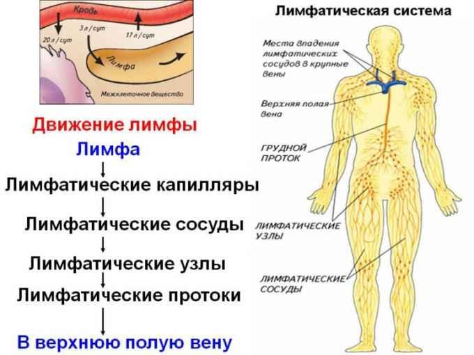 движение лимфы в теле